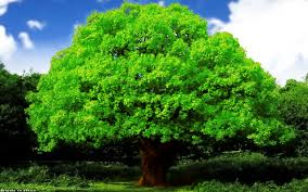 Image result for oak trees