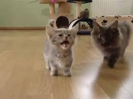 Cute munchkin baby <b>kitten</b> talks too much - YouTube
