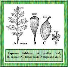 Papaver dubium in Flora of Pakistan @ efloras.org