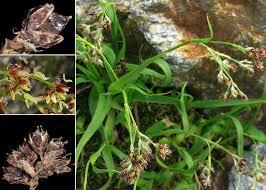Luzula alpinopilosa (Chaix) Breistr. subsp. alpinopilosa - Portale ...