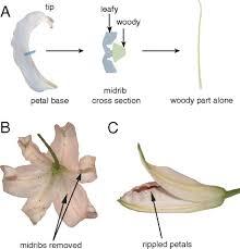 Growth, geometry, and mechanics of a <b>blooming lily</b>   PNAS
