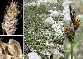 Carex liparocarpos Gaudin subsp. liparocarpos - Sistema ...