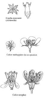 Fam. Rosaceae - florae.it