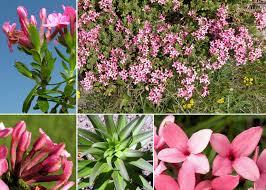 Daphne cneorum L. - Sistema informativo sulla flora delle Alpi ...
