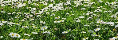 Lawn Troubleshooting 3: Flowering <b>Grass</b> Heads | Turf Online