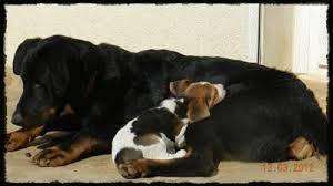 """Résultat de recherche d'images pour """"gif de chien beagle"""""""