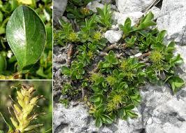 Salix retusa L. - Sistema informativo sulla flora delle Alpi Carniche ...