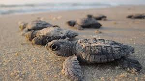 What <b>to</b> Help Our <b>Baby Sea</b> Turtles? Here's How. Adopting a ...