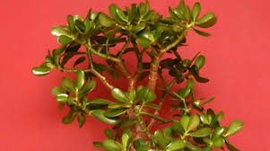 jade plant indoor office plants best office plant no sunlight