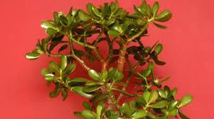 jade plant indoor office plants best office plants no sunlight
