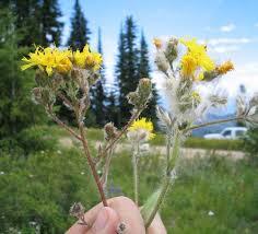 Key to Identification of Invasive and Native Hawkweeds (Hieracium ...