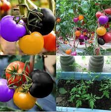 <b>100 PCS Rainbow</b> Tomat Benih Taman Rumah Benih Sayuran Hias ...
