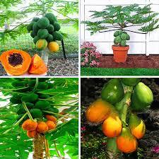 Egrow 15Pcs/Pack <b>Carica Papaya Seeds</b> Organic Edible Fruit ...