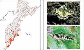 <b>Махаон</b> Papilio <b>machaon</b> Linnaeus, 1758 | Красная <b>книга</b> ...