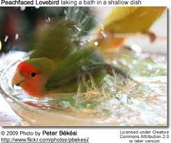 Wedding Wednesday  Love Birds Wedding Ideas   HotRef Party Gifts A pet chick  The rosy faced lovebird
