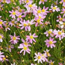 Кореопсис <b>розовый Американ</b> Дрим (Coreopsis rosea <b>American</b> ...