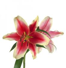 Sonata Lily <b>African Lady</b> | Sun Valley