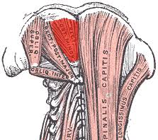Image result for posterior neck muscles grey's