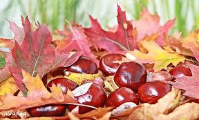 Znalezione obrazy dla zapytania kasztany jesień