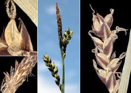 Carex panicea L. - Sistema informativo sulla flora delle Alpi ...