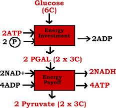 online bio text   glycolysisglycolysis gif