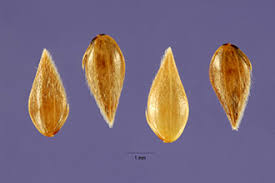 Plants Profile for Phleum subulatum (Italian timothy)
