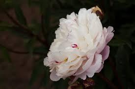 Brooks Gardens Peonies — Ave <b>Maria peony</b>
