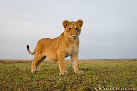 Image result for lion cub pictures