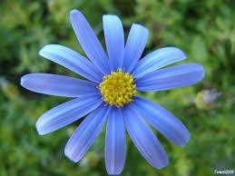 Resultado de imagem para flor azul