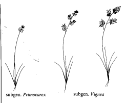 Gen. Carex - florae.it