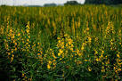 Images & Illustrations of crotalaria