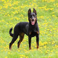 Images & Illustrations of Beauceron
