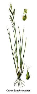 Carex brachystachys - Wikipedia, la enciclopedia libre