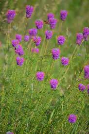 Image result for prairie clover