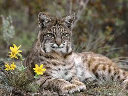Image result for Bobcat