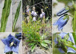 Campanula barbata L. - Sistema informativo sulla flora delle Alpi ...