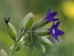 Anchusa undulata L. | Flora of Israel Online