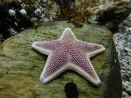 Resultado de imagen de estrella de mar