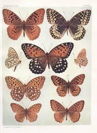 1904 <b>Antique</b> print Brown <b>Butterflies vintage</b> entomology | Etsy ...