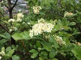 Mougeot's Whitebeam (Sorbus mougeotii) · iNaturalist.org