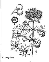 Sp. Cornus sanguinea - florae.it