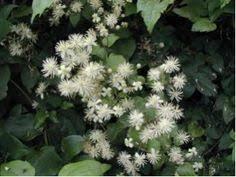 Hieracium villosum. Photo Tigerente on Wikimedia commons ...