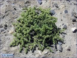 Herniaria fontanesii subsp. almeriana