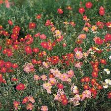<b>Rock</b> Rose Flower Seeds (Helianthemum Mutabile <b>Mix</b>) <b>100</b>+Seeds ...