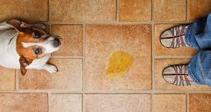 Secrets To Housebreaking <b>Adult Dogs</b>   Cesar's Way