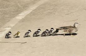 Bildergebnis für Entenmutter mit jungen