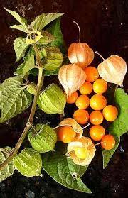 Physalis peruviana - Wikipedia