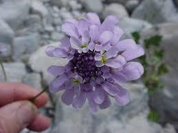 Iberis linifolia stricta • Earth.com