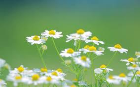 Kết quả hình ảnh cho hoa cỏ dại