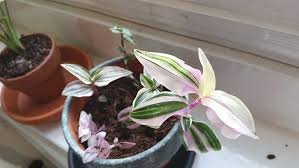 Tradescantia fluminensis | Inch plant care & info | Houseplant Central